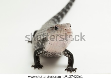 Giant blue-tongued skink lizard or Tiliqua gigas isolated on white background Foto stock ©