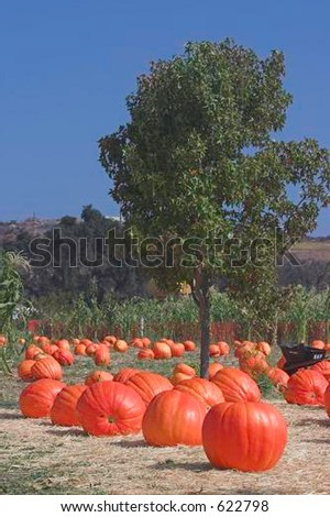 Giant Bright  Orange Pumpkins Laying In Pumpkin Patch Under A Maple Tree