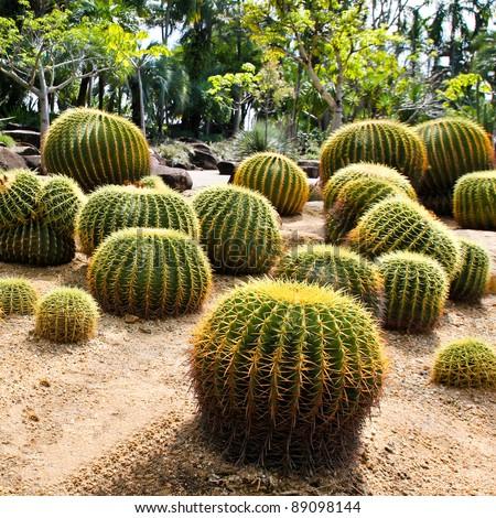 Giant cactus in Nong Nooch Tropical Botanical Garden, Pattaya, Thailand. - stock photo