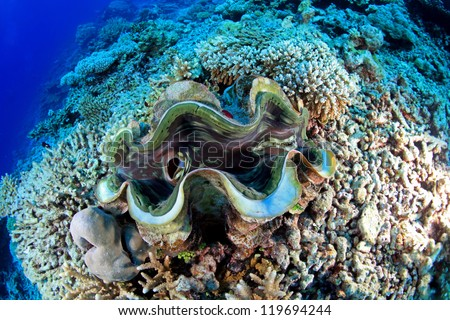 Giant clam in the tropical coral reef