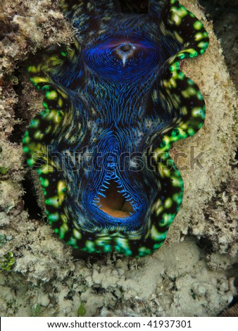 Giant Clam, Tridacna Maxima, Great Barrier Reef Marine Park Australia