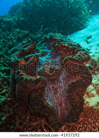 Giant Clam, Tridacna maxima, on Great Barrier Reef Australia