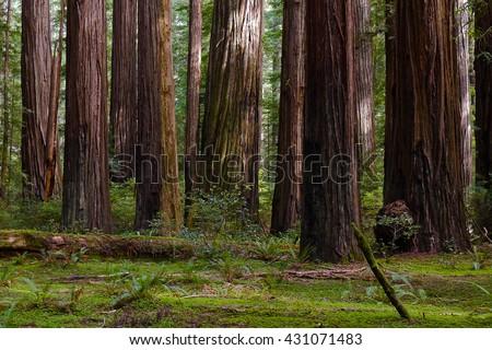 Giant Coast Redwood Trees Tower Over The Forest Floor. \nRedwood National Park, Humboldt, California