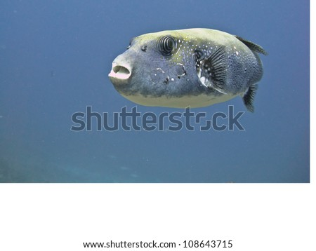 Giant colored puffer fish in Andaman Sea, Similan Islands Koh Bon