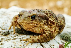 giant common toad (Bufo bufo spinosus)