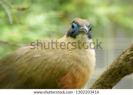 Giant Coua, Coua gigas, native to Madagascar, a bird species from cuckoo family. Exotic Tropical Bird. Close up