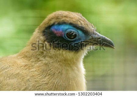 Giant Coua, Coua gigas, native to Madagascar, a bird species from the coua genus in the cuckoo family. Exotic Tropical Bird. Close up