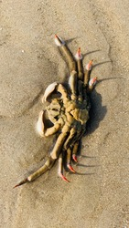 Giant crab dead in front of the beachfront.