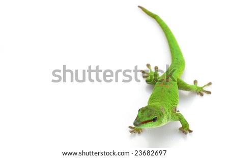 Giant Day Gecko (Phelsuma madagascariensis grandis) isolated on white background.