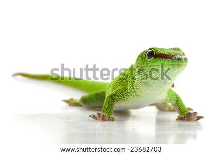 Giant Day Gecko (Phelsuma madagascariensis grandis) isolated on white background.