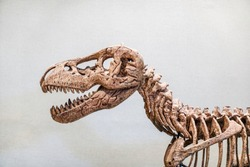 Giant Dinosaur or T-rex skeleton, Dinosaurs are a diverse group of reptiles of the clade Dinosauria. They first appeared during the Triassic period, between 243 and 233.23 million years ago.