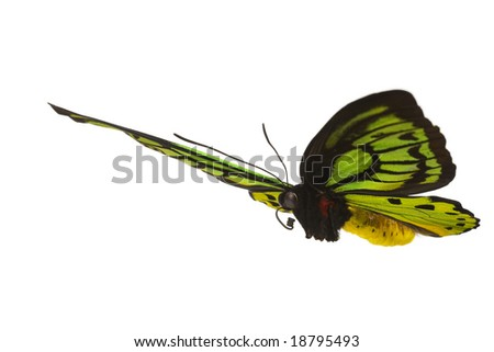 Giant emerald birdwing in flight (O priamus poseidon) from the jungle regions of the Arfak Mountains in Indonesia