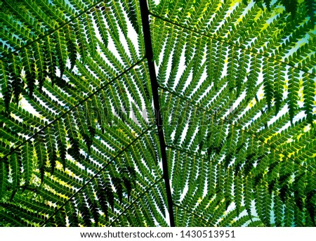 Giant Fern Leaves - Bussaco National Forest - Portugal