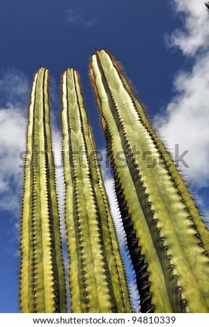 Giant 30 Foot Cactus Reaching for the Sky.