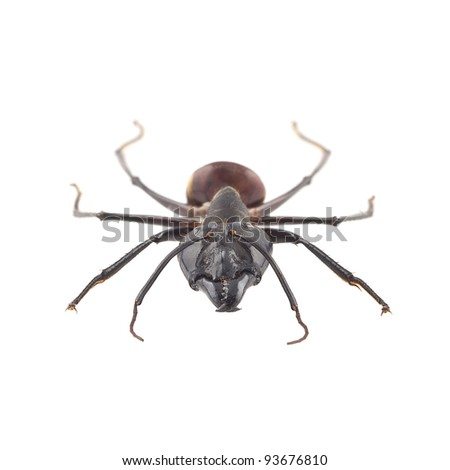 Giant forest ant, Camponotus gigas isolated on white background, this ant is native to asian forests