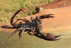 Giant forest scorpion Heterometrus from Western Ghats of Maharashtra, India