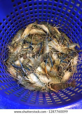 Giant-freshwater-prawn Images and Stock Photos - Avopix com