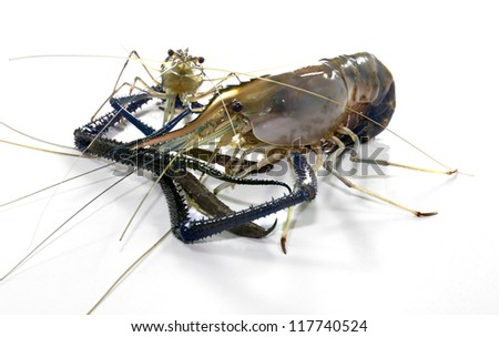 Giant Freshwater Prawn (Macrobra chium rosenbergii de Man) on white background