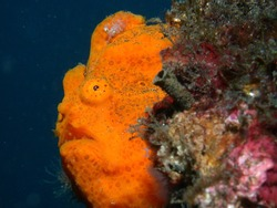 Giant frogfish. Lembeh, Indonesia