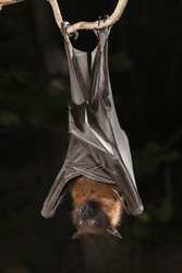 Giant Fruit Bat or Large Flying Fox, Pteropus vampyrus, captive model, hanging on a branch, Central Pennsylvania, United States