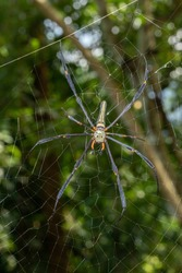 Giant golden orb weaver, a species of Orb weavers Also known as: Northern golden orb weaver, Large woodland spider, Giant golden orb-weaving spider Scientific name: Nephila pilipes