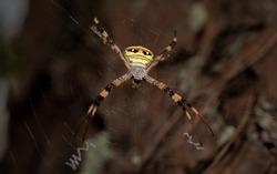Giant Golden Orb Weaver Spider in northern Thailand.