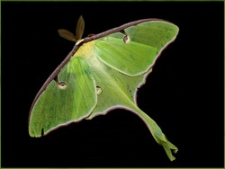 Giant Green Luna Moth on Black background