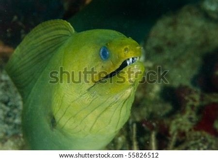 Giant Green Moray Eel on a coral reef in the Caribbean Sea