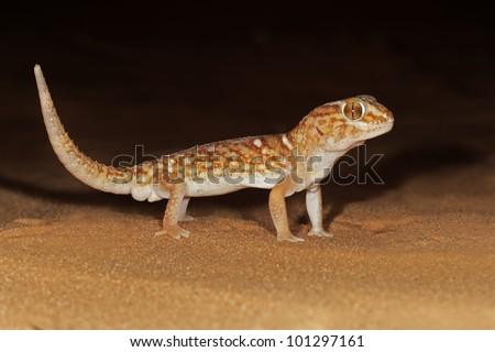 Giant ground gecko (Chondrodactylus angulifer) on sand dune at night, Kalahari desert, South Africa