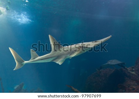 Giant guitarfish (Rhynchobatus djiddensis)