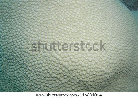 Giant Hard coral _ Turbinaria peltata