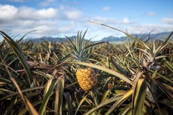 Giant Hawaiian pineapple farms in the countryside on the island of Oahu, Hawaii