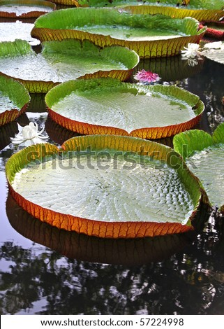 Giant Heart shaped Lily Pads with Beautiful Flowers forming a Path across lake at Sunset