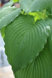 Giant Hosta Niagara Falls with large green leaves grows in a garden in April