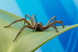 Giant house spider (Eratigena atrica). Abstract blue background.