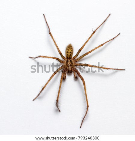 Giant House Spider- Tegeneria gigantea - in the bath