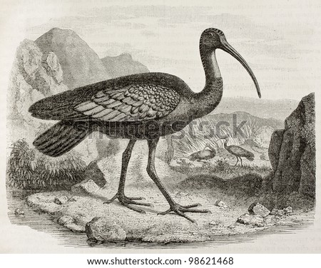 Giant Ibis old illustration (Thaumatibis gigantea). Created by Freeman, published on Magasin Pittoresque, Paris, 1882