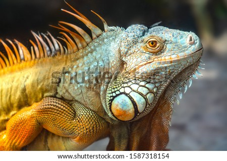 Photo of  Giant iguana portrait is resting. This is the residual dinosaur reptile that needs to be preserved in the natural world