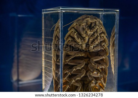 Giant isopod Bathynomus giganteus viewed from under
