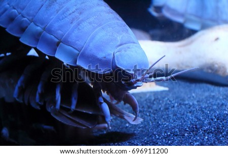 Giant Isopod up close