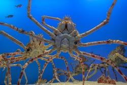 Giant Japanese spider crab in aquarium.