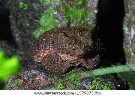Giant jungle toad, asian giant toad, river toad, giant asiatic toad (Phrynoidis aspera) in rainforest habitat.