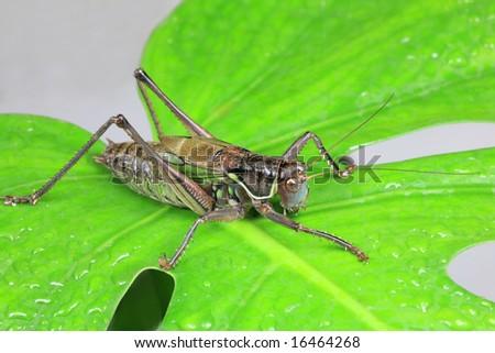 Giant Katydid Sitting on Green Leaf