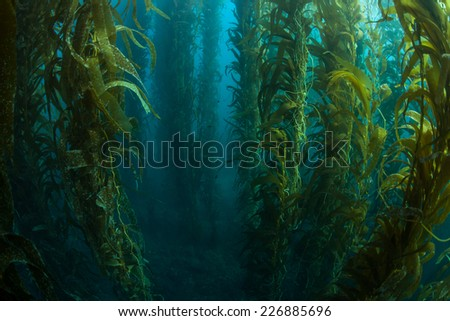 Giant kelp grows in a thick underwater forest near the Channel Islands in California. Kelp provides an important habitat for many fish and invertebrates and can grow quickly in the right conditions. Stock photo ©