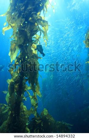 Giant kelp in blue water of aquarium