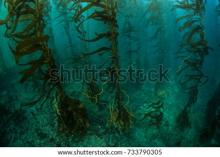 Giant kelp (Macrocystis pyrifera) grows in a beautiful underwater forest near the Channel Islands in California. This area is part of a National Park and is teeming with thousands of marine species. #733790305
