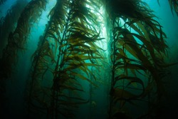 Giant kelp (Macrocystis pyrifera) grows in a thick, submerged forest near the Channel Islands in California. This area is part of a National Park and is teeming with thousands of marine species.
