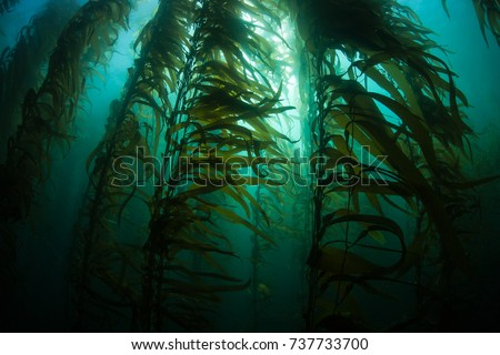 Giant kelp (Macrocystis pyrifera) grows in a thick, submerged forest near the Channel Islands in California. This area is part of a National Park and is teeming with thousands of marine species. #737733700