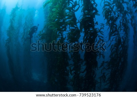 Giant kelp (Macrocystis pyrifera) grows in a thick, submerged forest near the Channel Islands in California. This area is part of a National Park and is teeming with thousands of marine species. #739523176