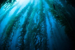 Giant kelp (Macrocystis pyrifera) grows in a thick, underwater forest near the Channel Islands in California. This area is part of a National Park and is teeming with thousands of marine species.